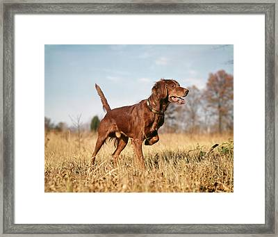 1960s Irish Setter Hunting Dog On Point Framed Print
