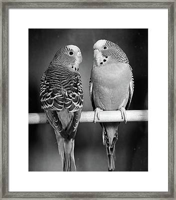 1960s Pair Of Parakeets Perched Framed Print