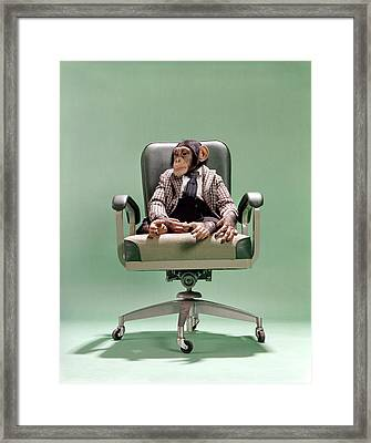 1970s Chimpanzee Sitting On Office Chair Framed Print