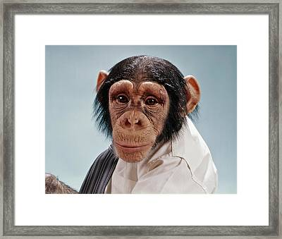 1970s Close-up Face Chimpanzee Looking Framed Print