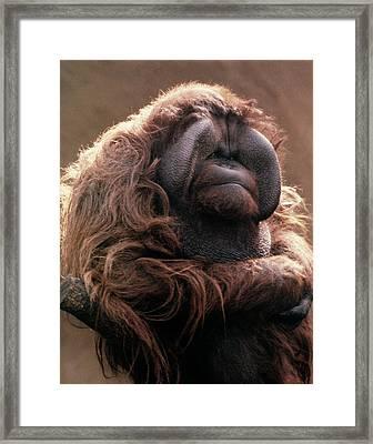 1970s Mature Adult Orangutan Pongo Framed Print