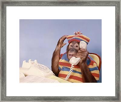 1980s Orangutan Pongo Pygmaeus Framed Print