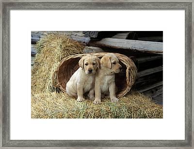 1990s Two Yellow Labrador Retriever Framed Print
