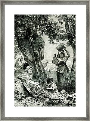 19th C Grape Harvest Framed Print by Collection Abecasis