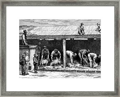 19th Century Australian Sheep Shearing Framed Print by Collection Abecasis