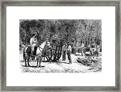 19th Century Coffee Harvest Framed Print