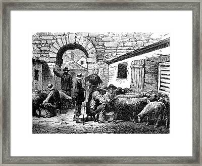 19th Century Sheep Farming Framed Print by Collection Abecasis