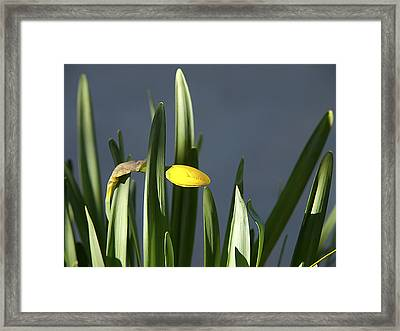 Framed Print featuring the photograph 1st Daff by Joe Schofield