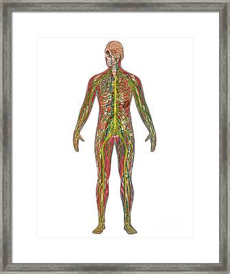 5 Body Systems In Male Anatomy Framed Print