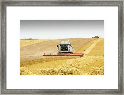 A Farmer Harvesting Wheat Framed Print by Ashley Cooper