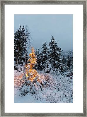 A Festive Mountain Hemlock Evergreen Framed Print by Kevin Smith