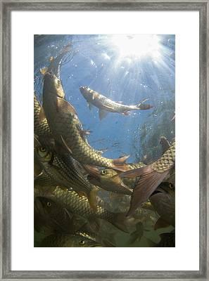 A Large School Of Mahseer Fish Framed Print