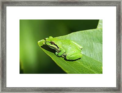 A Pacific Tree Frog  Pseudacris Regilla Framed Print by Robert L. Potts