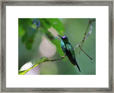A Violet-capped Woodnymph, Thalurania Framed Print