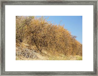 Abandoned Dead And Dying Orange Trees Framed Print