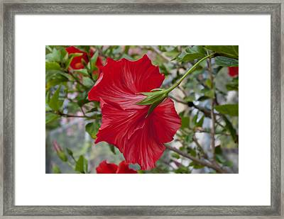 Abstract Hibiscus Framed Print