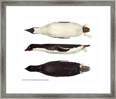 Adelie Penguin Framed Print by Natural History Museum, London