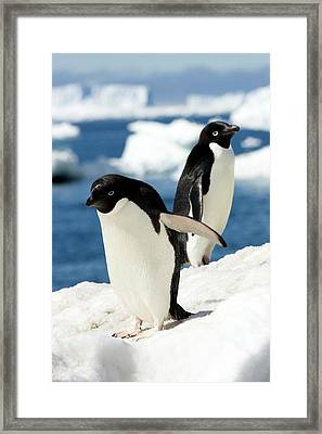 Adelie Penguins Framed Print by William Ervin/science Photo Library