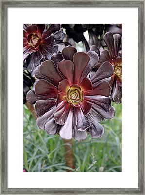 Aeonium 'zwartkop' Framed Print by Adrian Thomas