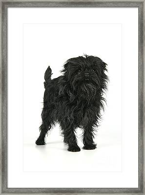 Affenpinscher Dog Framed Print by John Daniels