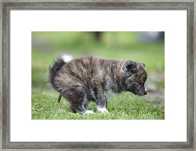 Akita Inu Puppy Dog Framed Print by Jean-Michel Labat