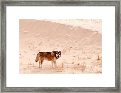 Alaskan Malamute At Mojave National Framed Print