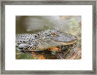 Alligator Framed Print by Peter Lakomy