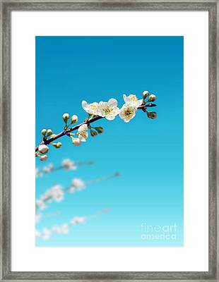 Almond Branch Framed Print