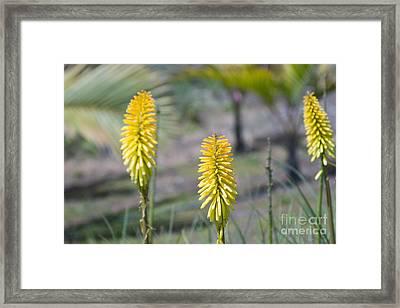 Aloe Arborescens Mill. - Xanthorrhoeaceae - Krantz Aloe - Candelabra Aloe  Framed Print by Sharon Mau