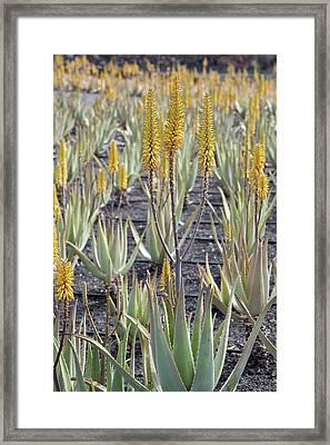 Aloe Vera In Cultivation Framed Print by Bob Gibbons/science Photo Library
