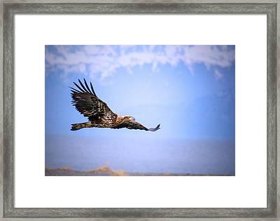 Amazing Bald Eagle Framed Print by Debra  Miller