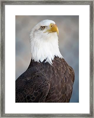 American Bald Eagle Framed Print by Paulette Thomas