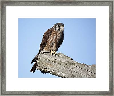 American Kestrel Framed Print by Paulette Thomas