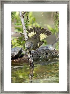 American Redstart Framed Print by Anthony Mercieca