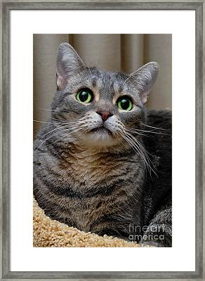 American Shorthair Cat Portrait Framed Print by Amy Cicconi