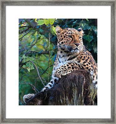 Amur Leopard Framed Print