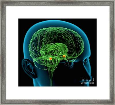 Amygdala In The Brain, Artwork Framed Print by Roger Harris