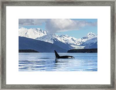 An Orca Whale  Killer Whale   Orcinus Framed Print by John Hyde
