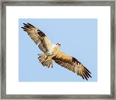 An Osprey Feeding On A Trout Framed Print