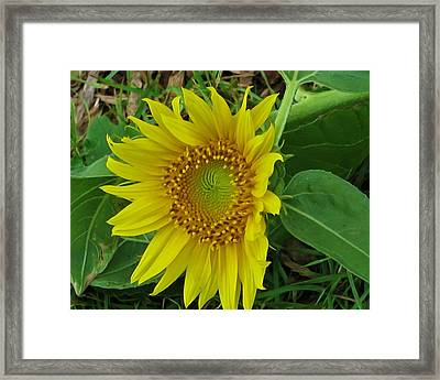 Another Sunflower Framed Print by Victoria Sheldon