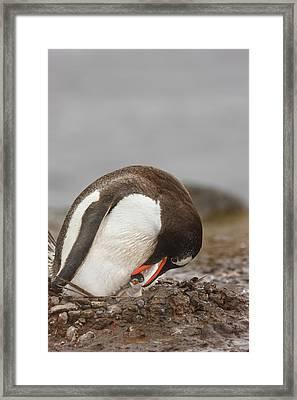 Antarctica, Aitcho Island Framed Print by Jaynes Gallery
