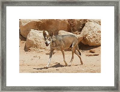 Arabian Wolf (canis Lupus Arabs) Framed Print by Photostock-israel