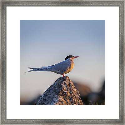 Arctic Terns Sterna Paradisaea, Flatey Framed Print