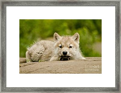 Arctic Wolf Pup Framed Print by Michael Cummings