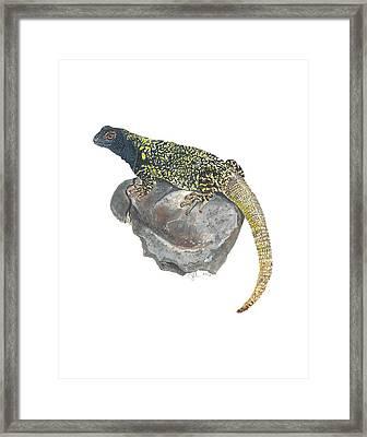 Argentine Lizard Framed Print