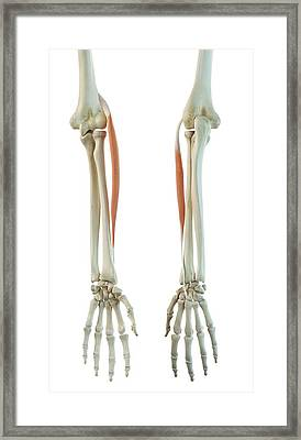 Arm Muscle Framed Print by Sciepro