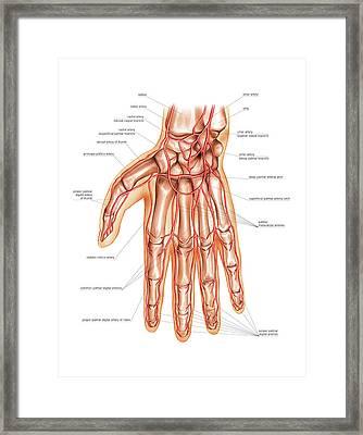 Arterial System Of The Hand Framed Print by Asklepios Medical Atlas
