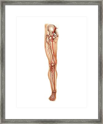 Arterial System Of The Leg Framed Print by Asklepios Medical Atlas