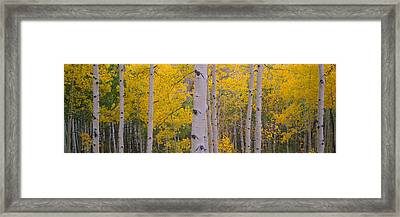 Aspen Trees In A Forest, Telluride, San Framed Print by Panoramic Images