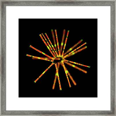 Asterionella Diatoms Framed Print
